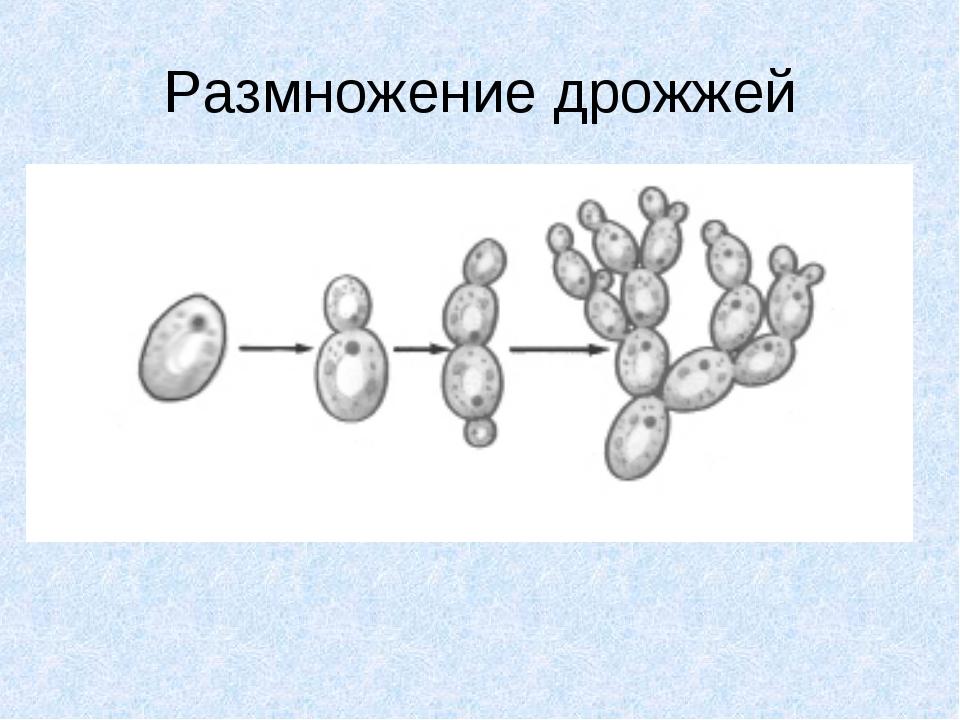 Размножение дрожжей
