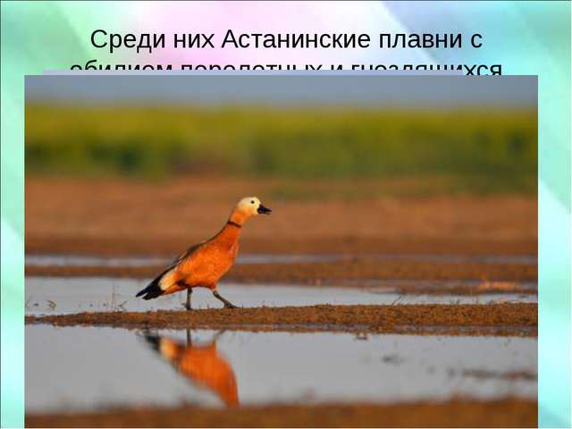 Среди них Астанинские плавни с обилием перелетных и гнездящихся водоплавающи...