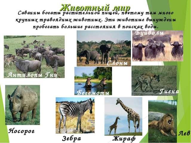 Животный мир Антилопы Гну Носорог Зебра Жираф Саванны богаты растительной пищ...