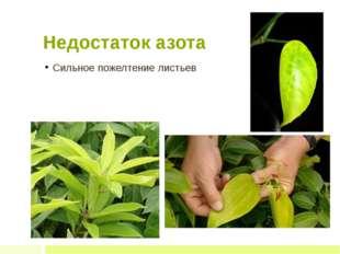 Недостаток азота Сильное пожелтение листьев