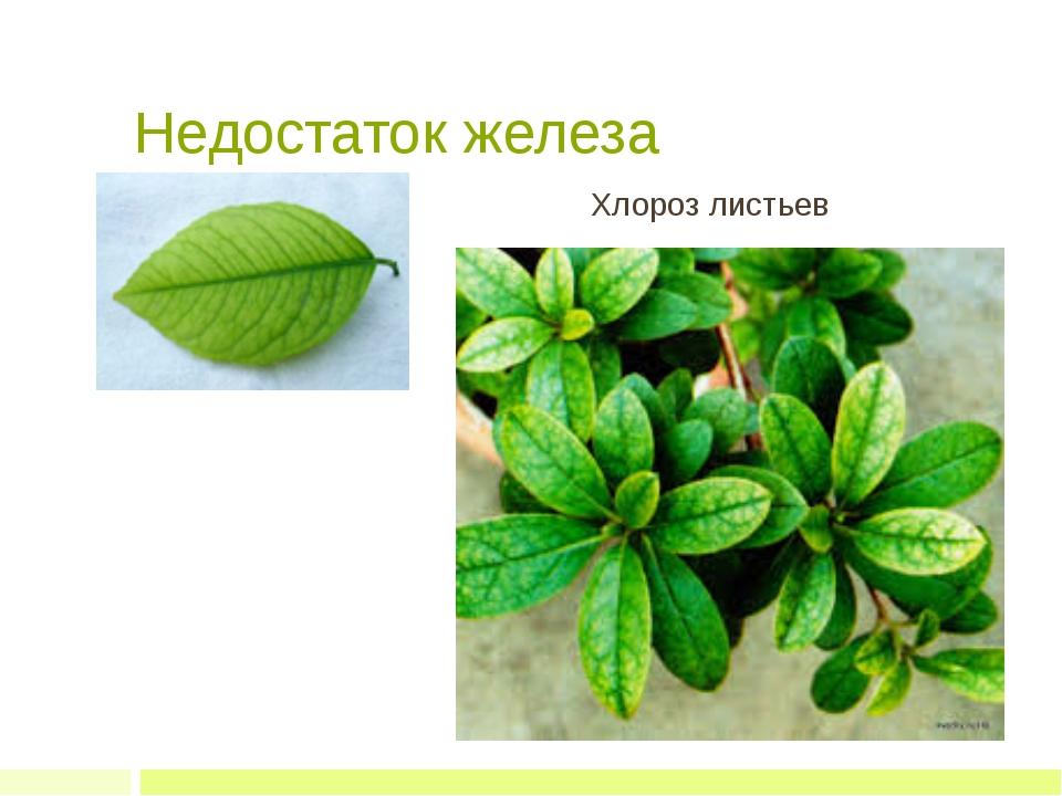 Недостаток железа Хлороз листьев