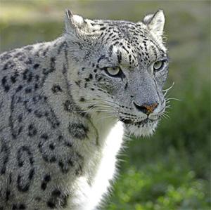 http://markakoll.kz/wp-content/uploads/2009/06/snow_leopard.jpg