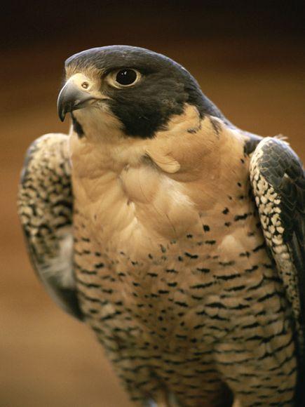 http://images.nationalgeographic.com/wpf/media-live/photos/000/006/cache/peregrine-falcon_659_600x450.jpg