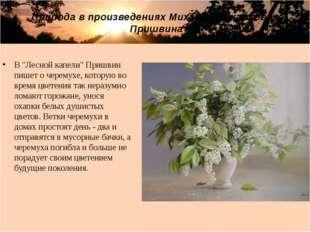 """В """"Лесной капели"""" Пришвин пишет о черемухе, которую во время цветения так нер"""