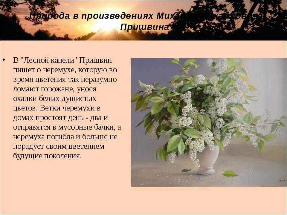 """В """"Лесной капели"""" Пришвин пишет о черемухе, которую во время цветения так нер..."""