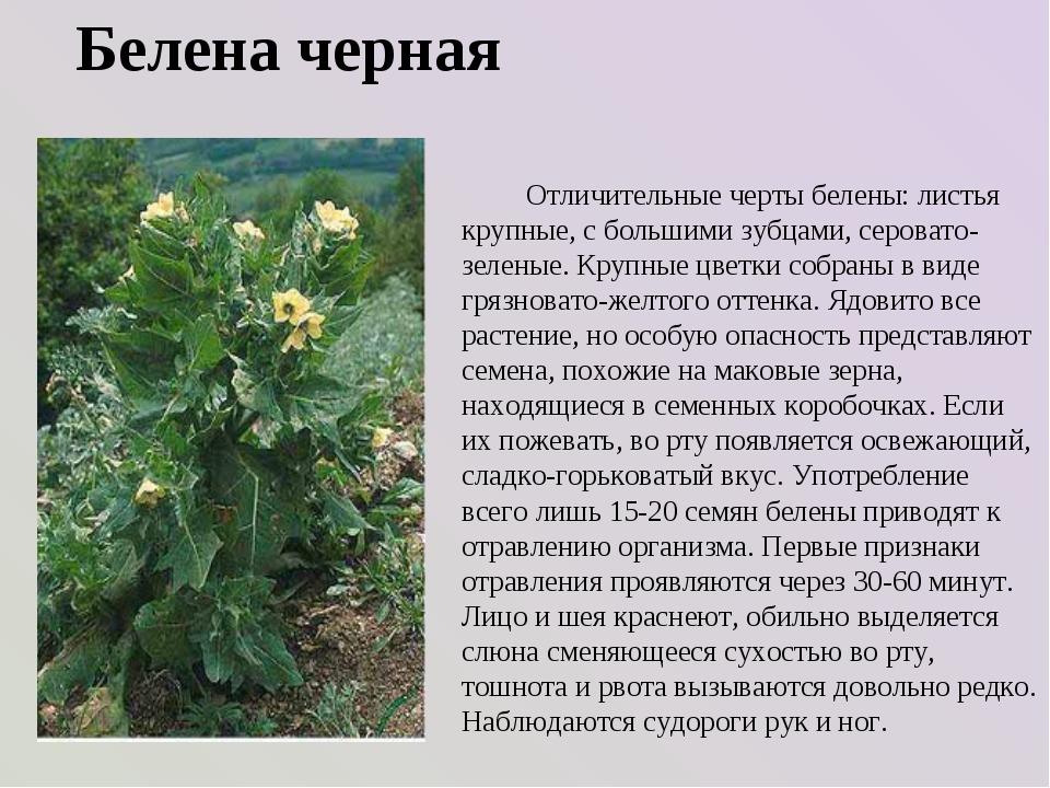 Белена черная Отличительные черты белены: листья крупные, с большими зубцами,...