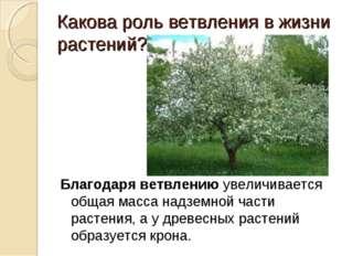 Какова роль ветвления в жизни растений? Благодаря ветвлению увеличивается об