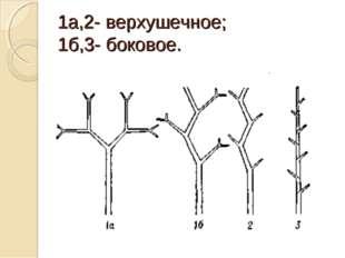 1а,2- верхушечное; 1б,3- боковое.