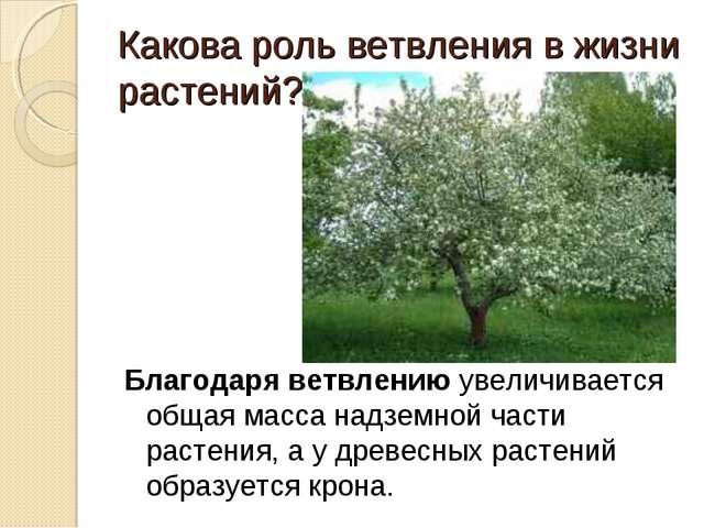 Какова роль ветвления в жизни растений? Благодаря ветвлению увеличивается об...
