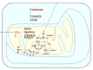 Гликолиз: С3Н4О3 2АТФ Цикл Кребса: С3Н4О3 СО2 НАД.Н Н+ Н+ Н+ Н+ + е- е- е- О