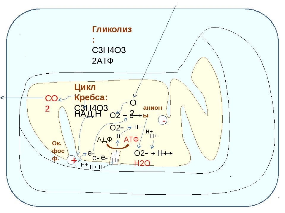 Гликолиз: С3Н4О3 2АТФ Цикл Кребса: С3Н4О3 СО2 НАД.Н Н+ Н+ Н+ Н+ + е- е- е- О...