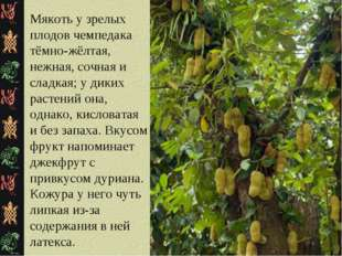 Мякоть у зрелых плодов чемпедака тёмно-жёлтая, нежная, сочная и сладкая; у ди