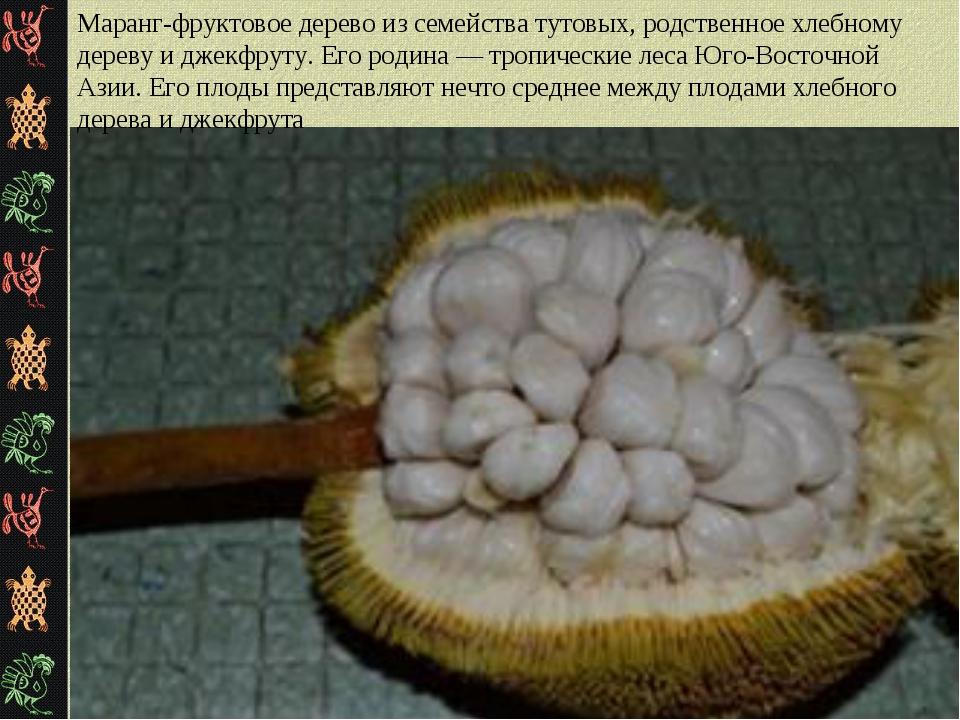 Маранг-фруктовое дерево из семейства тутовых, родственное хлебному дереву и д...