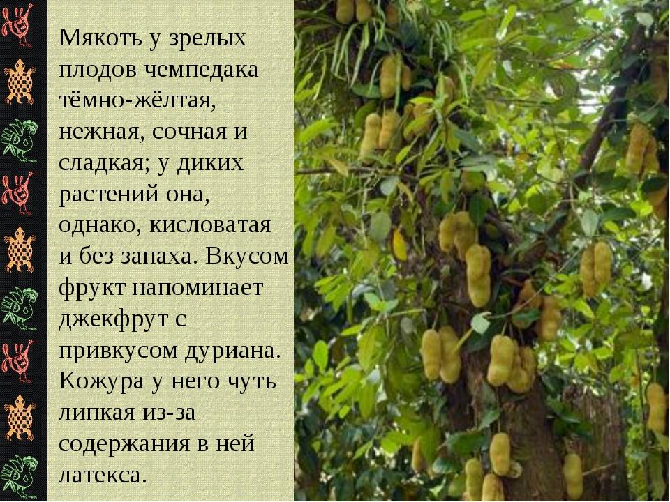 Мякоть у зрелых плодов чемпедака тёмно-жёлтая, нежная, сочная и сладкая; у ди...
