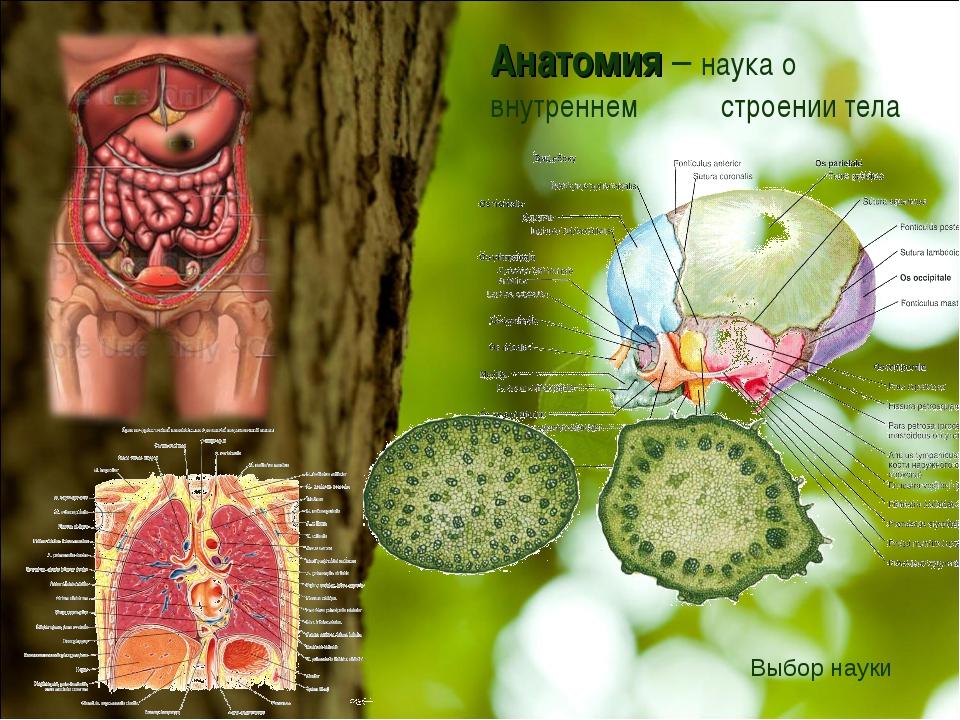 Анатомия – наука о внутреннем строении тела Выбор науки