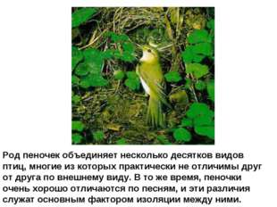 Род пеночек объединяет несколько десятков видов птиц, многие из которых практ