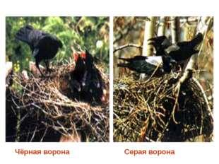 Чёрная ворона Серая ворона