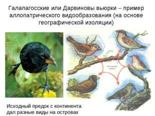 Галапагосские или Дарвиновы вьюрки – пример аллопатрического видообразования