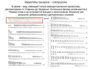 Кариотипы грызунов – слепушонок. В рамке – вид, имеющий только акроцентрическ