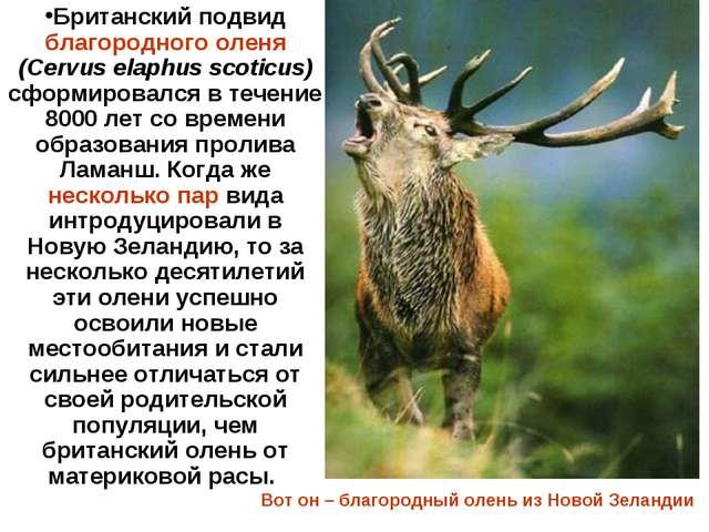 Британский подвид благородного оленя (Cervus elaphus scoticus) сформировался...