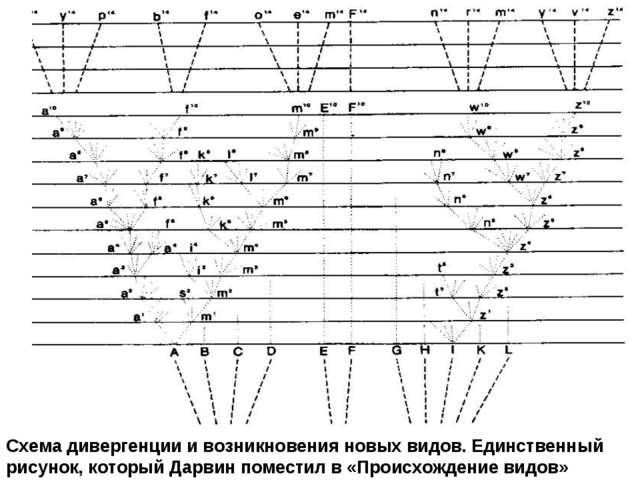 Схема дивергенции и возникновения новых видов. Единственный рисунок, который...