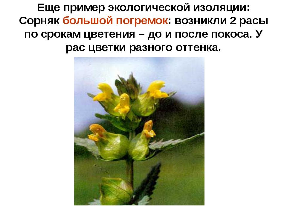 Еще пример экологической изоляции: Сорняк большой погремок: возникли 2 расы п...