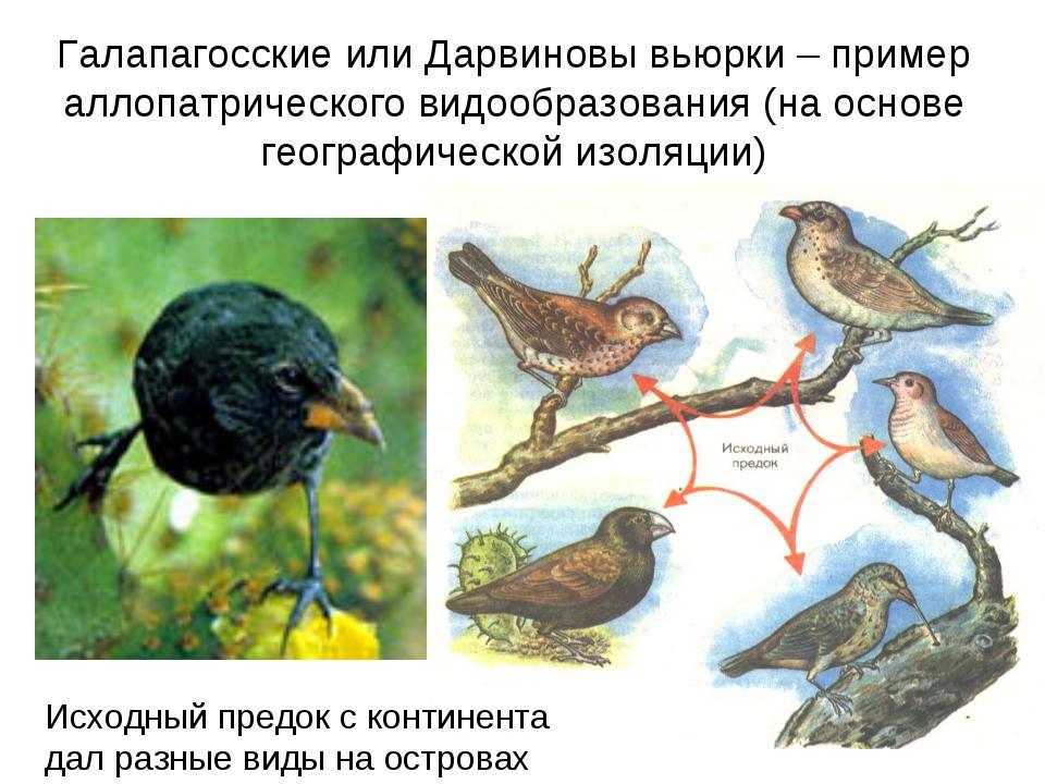 Галапагосские или Дарвиновы вьюрки – пример аллопатрического видообразования...