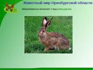 Животный мир Оренбургской области Зайцеобразные включают 1 вид (заяц-русак)