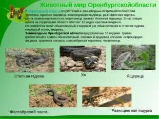 Уж Степная гадюка Ящерица Животный мир Оренбургскойобласти Желтобрюхий полоз