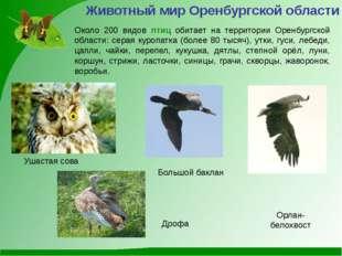 Большой баклан Ушастая сова Орлан-белохвост Животный мир Оренбургской области