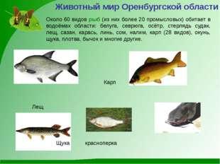 Животный мир Оренбургской области Около 60 видов рыб (из них более 20 промысл