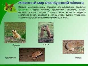 Самым многочисленным отрядом млекопитающих являются грызуны - сурки, суслики,