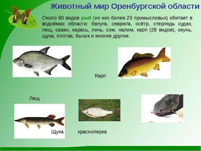 Животный мир Оренбургской области Около 60 видов рыб (из них более 20 промысл...