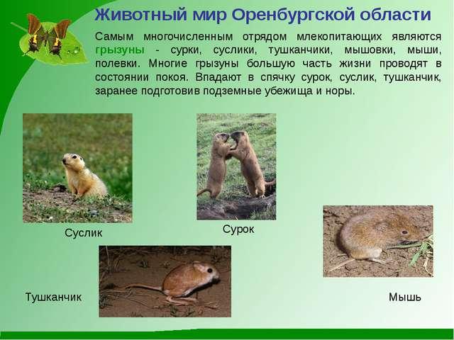 Самым многочисленным отрядом млекопитающих являются грызуны - сурки, суслики,...