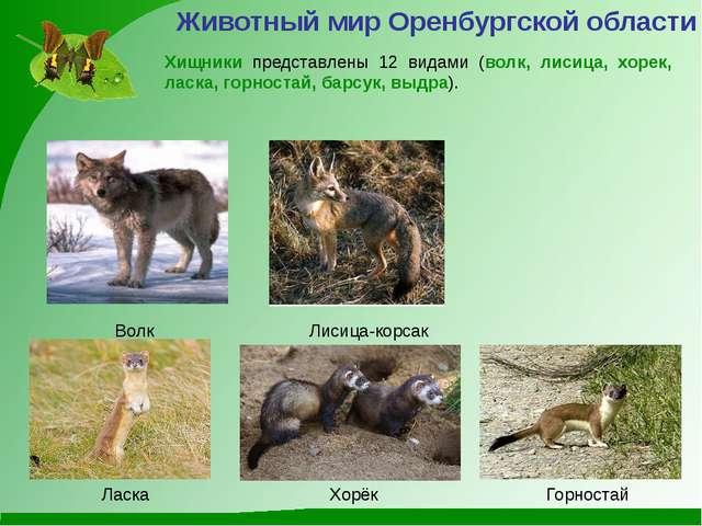 Лисица-корсак Волк Хищники представлены 12 видами (волк, лисица, хорек, ласка...