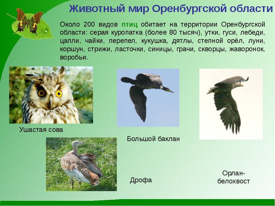Большой баклан Ушастая сова Орлан-белохвост Животный мир Оренбургской области...