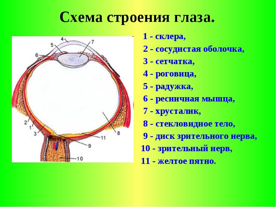 Схема строения глаза. 1 - склера, 2 - сосудистая оболочка, 3 - сетчатка, 4 -...