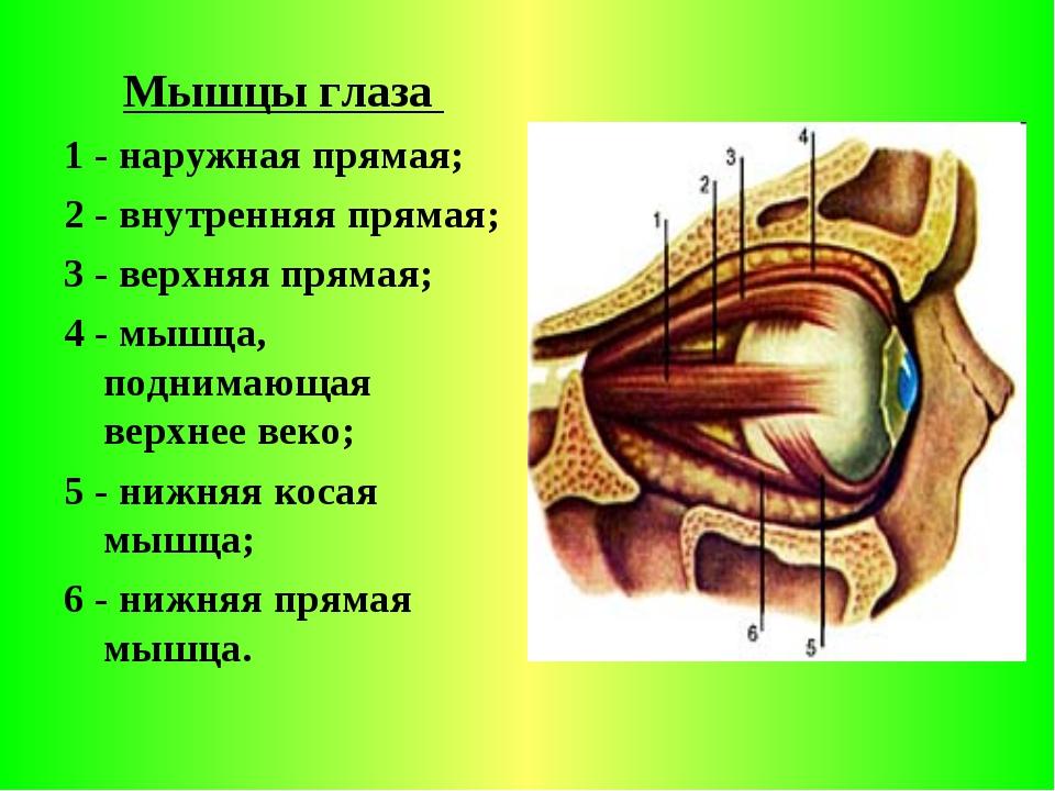 Мышцы глаза 1 - наружная прямая; 2 - внутренняя прямая; 3 - верхняя прямая;...