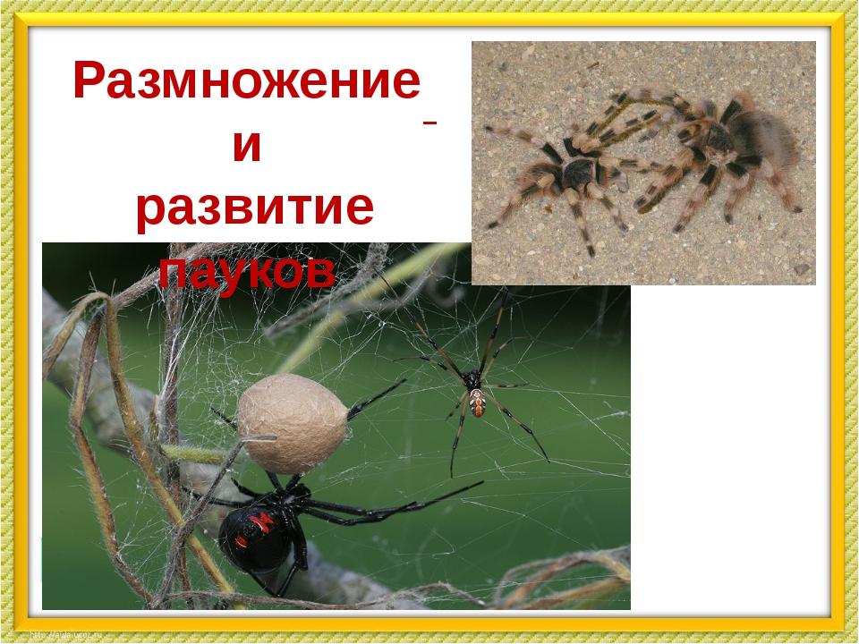 Размножение и развитие пауков