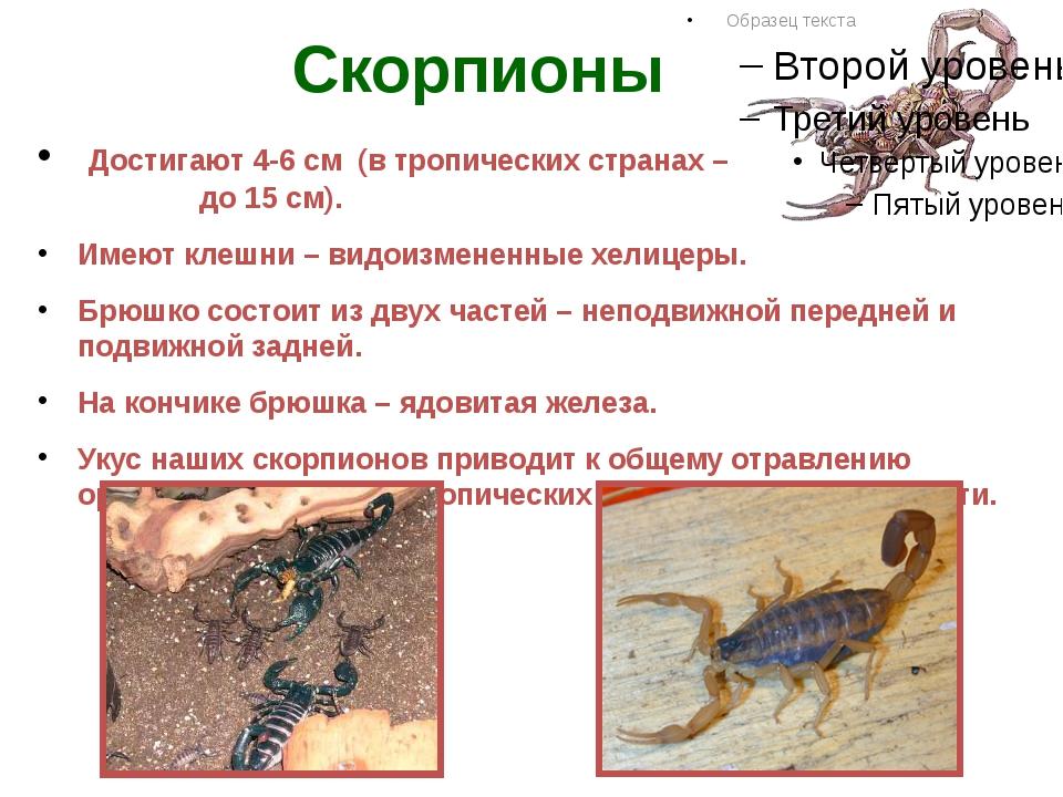 Скорпионы Достигают 4-6 см (в тропических странах – до 15 см). Имеют клешни –...