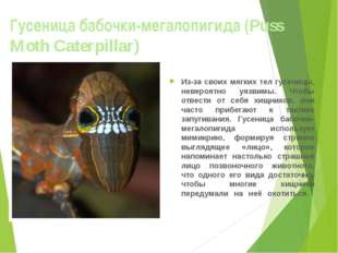 Гусеница бабочки-мегалопигида (Puss Moth Caterpillar) Из-за своих мягких тел