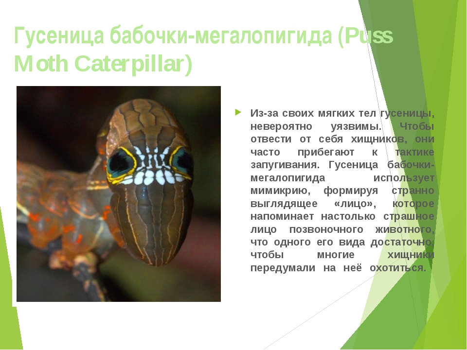 Гусеница бабочки-мегалопигида (Puss Moth Caterpillar) Из-за своих мягких тел...