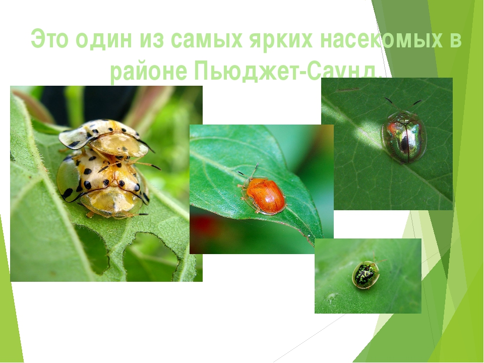 Это один из самых ярких насекомых в районе Пьюджет-Саунд.
