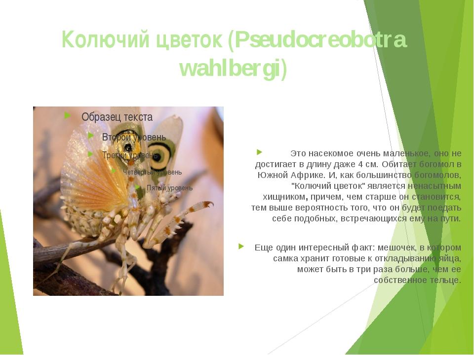 Колючий цветок (Pseudocreobotra wahlbergi) Это насекомое очень маленькое, оно...