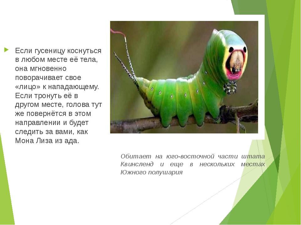 Если гусеницу коснуться в любом месте её тела, она мгновенно поворачивает сво...