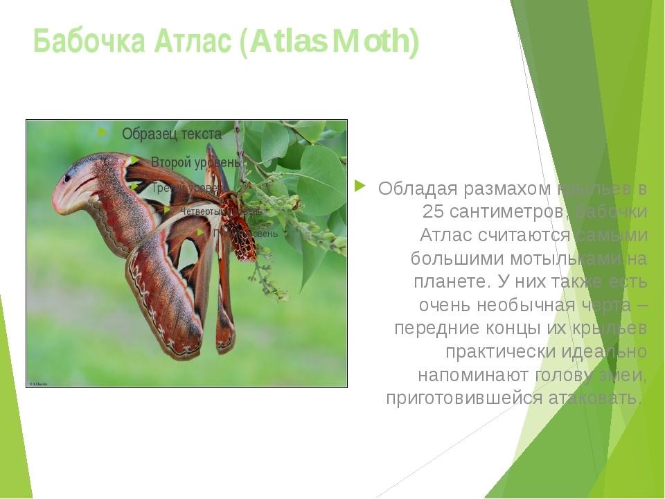 Бабочка Атлас (Atlas Moth) Обладая размахом крыльев в 25 сантиметров, бабочки...