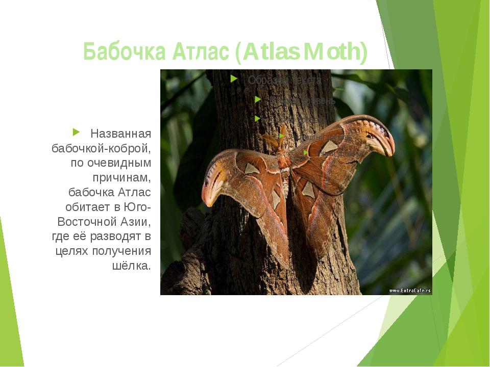 Бабочка Атлас (Atlas Moth) Названная бабочкой-коброй, по очевидным причинам,...