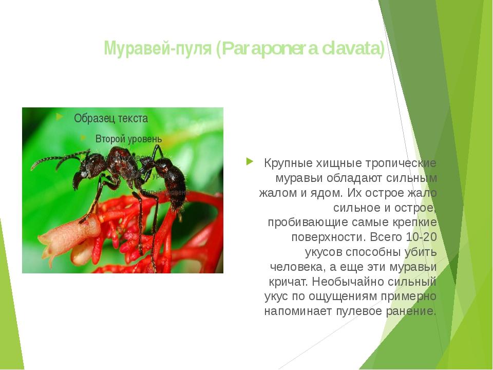 Муравей-пуля (Paraponera clavata) Крупные хищные тропические муравьи обладаю...