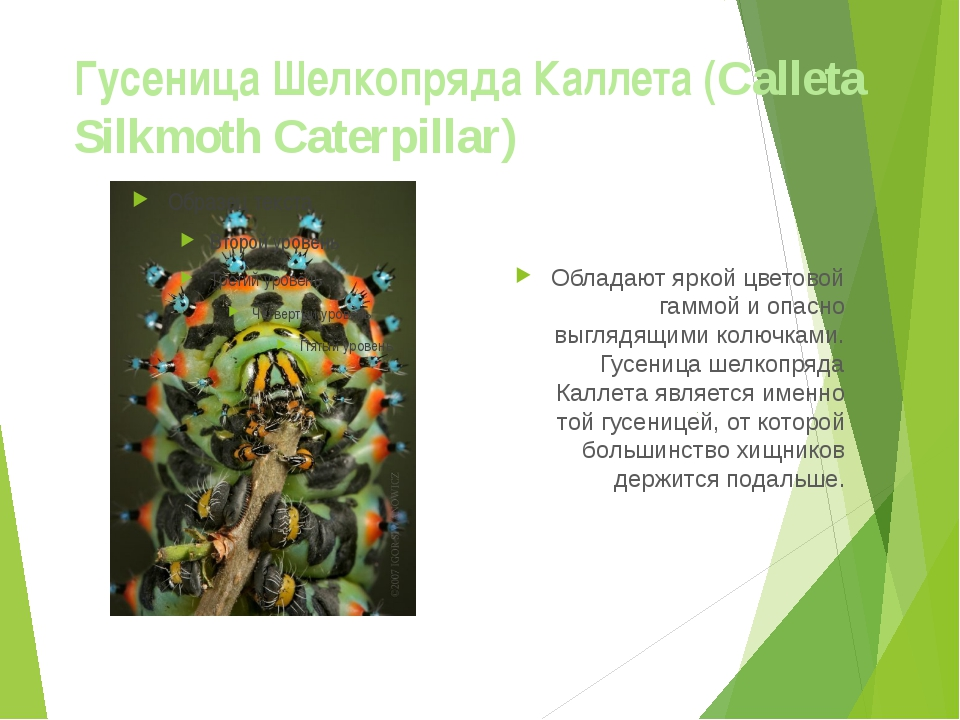 Гусеница Шелкопряда Каллета (Calleta Silkmoth Caterpillar) Обладают яркой цве...