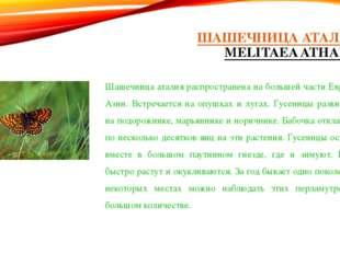 ШАШЕЧНИЦА АТАЛИЯ (MELITAEA ATHALIA) Шашечница аталия распространена на больше